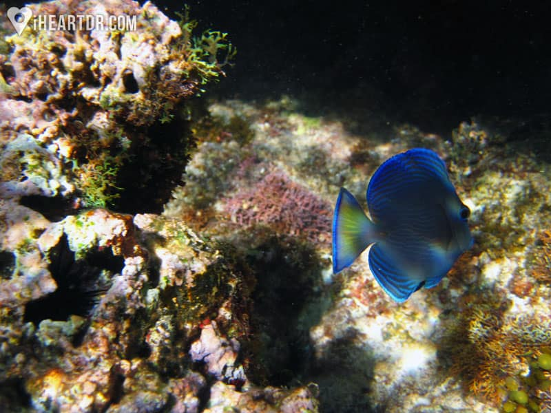Blue fish swimming in the coral reef