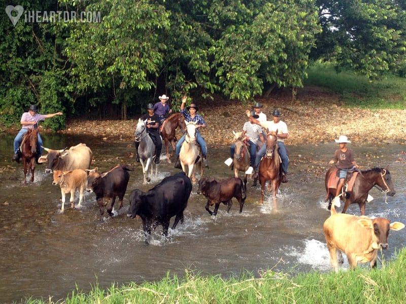Men driving cattle across the river