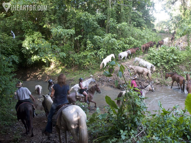 Crossing the river with live cattle and horses