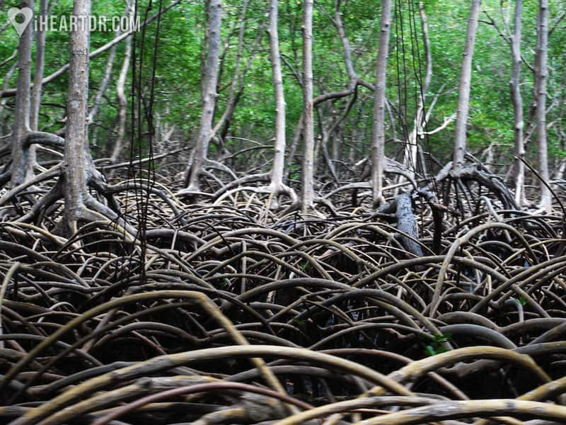 Mangrove forest in Los Haitises