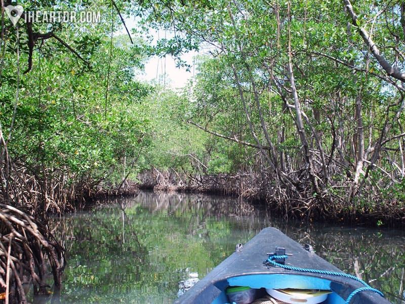 Riding a canoe across a mangrove forest