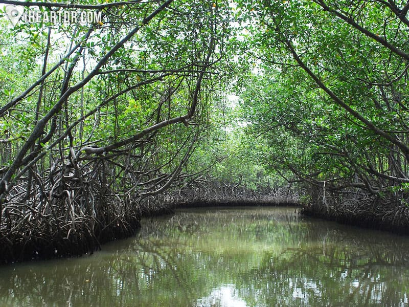 Sailing through a mangrove forest
