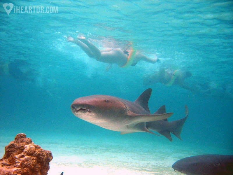 Nurse shark swimming and people snorkeling seen in the background