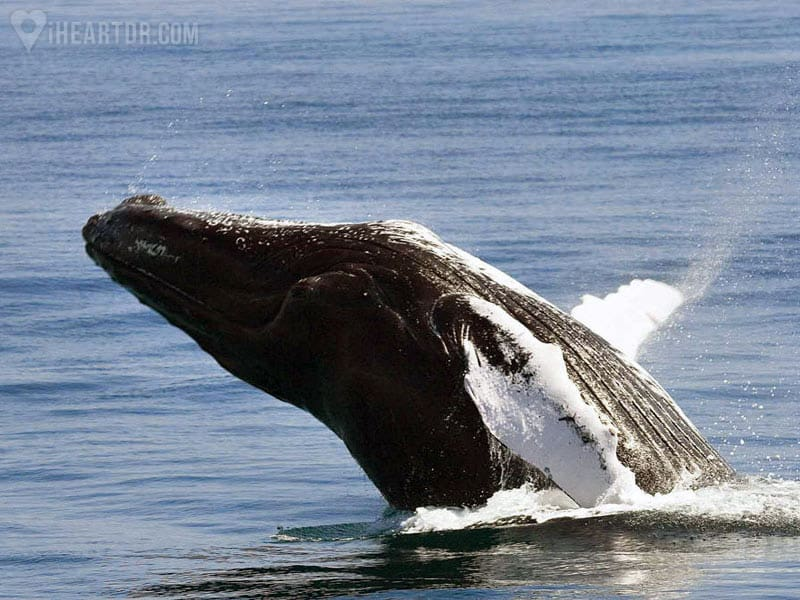 Humpback whale jumping in the Samana Bay on our Whale Watching Tour - iHeartDR