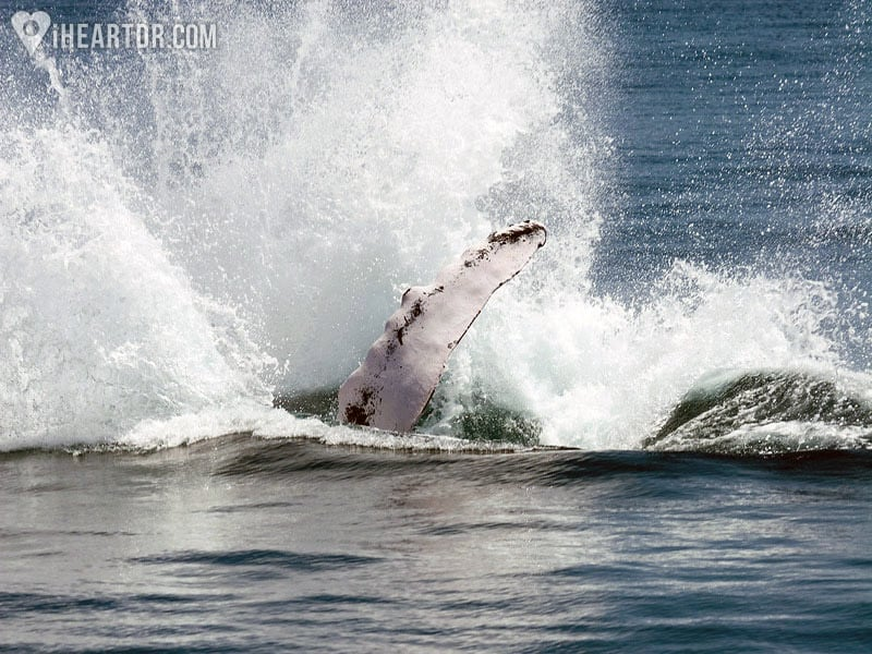 Whale splashing in the water