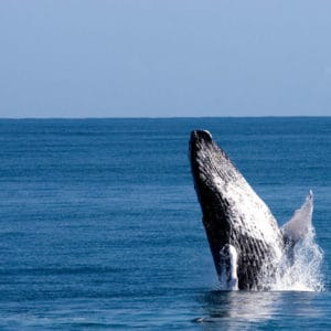 Whale jumping in the bay