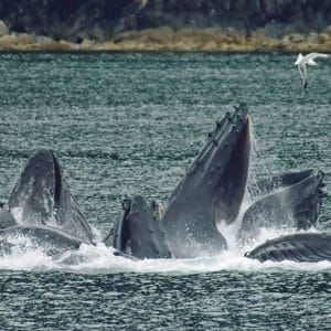 Group of humpback whales in the Samana Bay