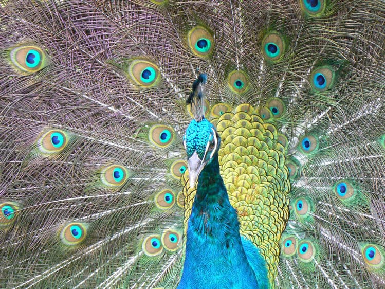 Royal Peacock in Puerto Plata